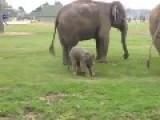Baby Elephant's Very Clumsy First Steps