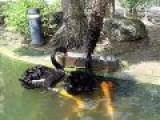 Black Swan Feeding Koi Fish, How Wonderful