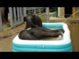 Baby Elephants Play In Kiddie Pool