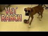 Boxer DOG With HUGE Tumor, Surgery