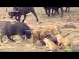 Buffalos Comes To The Rescue Of A Young Buffalo Attacked By Lions