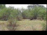 Baboons Male Lion Kill
