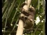 Big Cat Slays Sloth