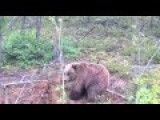 Brown Bear Hunting Rodents In Siberia