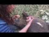 Baby Wombat Rescue - Mother Was Deceased On Roadside
