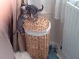 Bengal Kitten Buddies Play And Fight On A Wicker Basket