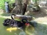 Black Swans Feeding Fish