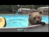Bear Love Swimming In The Pool