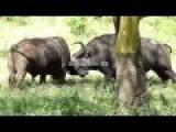 Buffalo Vs Buffalo