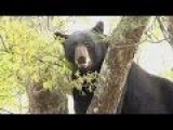 Bear Shot Out Of Tree Falls 30 Feet