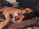 Big Dog Hugs Little Dog Playing Tug-o-War
