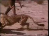 Brave Africans Steal Food From Cheetah