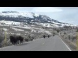 Bison On Roadway At Yellowstone National Park Out For A Jog