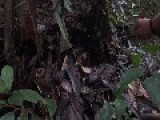 Big Tarantula In French Guyana Jungle
