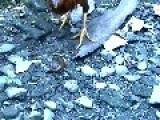 Chicken Fights With Stones