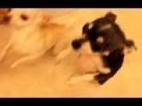 Chihuahua Dance Moment