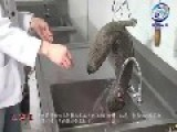 Chinese Home Cooking Television: How To Kill A Giant Salamander