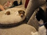 Cat Meets The New Puppies For The First Time