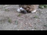 Cat Eating Mouse - Close-Up HD 1080p