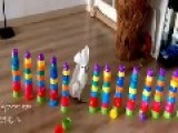 Cockatoo Obliterates Line Of Plastic Cup Towers