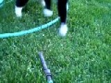 Cautious Cat Takes On Garden Hose