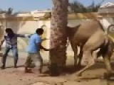 Camel Bites A Man Head And Launched Him To Air While Butchering
