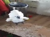 Cockatoo Not Impressed With Being Filmed