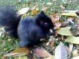 Cute Black Squirrel Enjoying Tasty Snack
