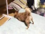 Chihuahua Imitate Torpedo