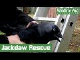 Clumsy Jackdaw Traps Itself In Tree And Wildlife Rescuer Puts It In Jacket To Save It!