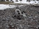 Curious Baby Seal Says Hello