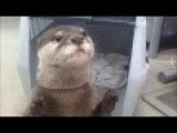 Cute Otter Will Help You Buy Juice From A Vending Machine