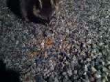 Chubby Raccoon Loves Kitty Food