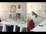 Cheeky Monkey Sneaks Into Office And Steals Nuts