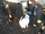Cat Loves Fresh Milk From Cow