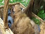Cute Baby Sloths Enjoy Playtime In Basket