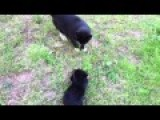 Cool Cat Doesn't Want To Play With Rottweiler Pup