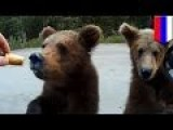 Crazy Russians Feed Bears: Man Hand Feeds Cubs From His SUV, Films It On Phone - TomoNews