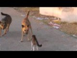 Cat Win Against Two Dogs
