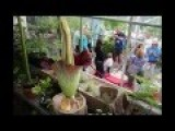 Corpse Flower Bloom And Close Time Lapse