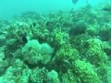 Cannibalism In The Sea - Mature Eel Eats Junior One