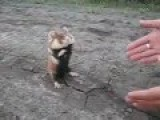 Crazy Russian Hamster Fighting