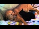 Cat Gives Dog A Massage