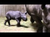Critically-Endangered Black Rhino Born At Lincoln Park Zoo