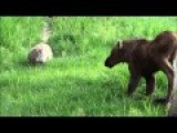 Cat Stalks Moose Calves Twins