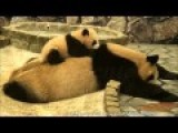 Cute Baby Panda Annoying His Sleeping Mother
