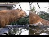 Cute Capybara Rodent Takes An Olympics Style Dive Into A Pool