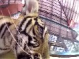 Cute Tiger Cubs Fight Over GoPro