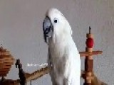 Cockatoo Loves To Play With Her Spoon