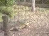 Croc Near Miss On Handler